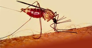 Mosquit anopheles picant