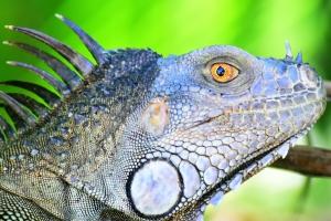 Iguana_209_bis